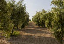 Photo of Alérgicos en alerta máxima por el polen de olivo