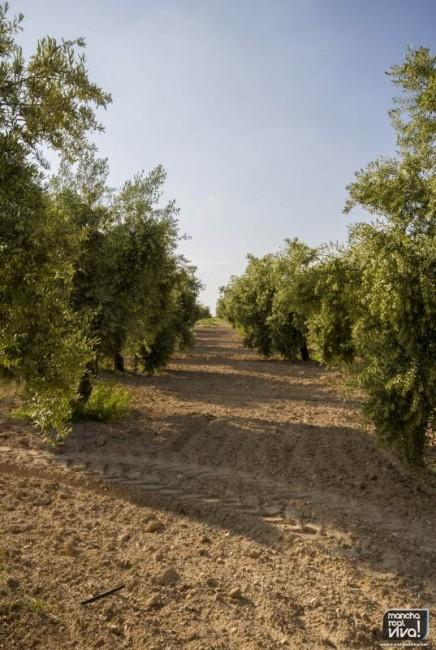 Olivos en Mancha Real