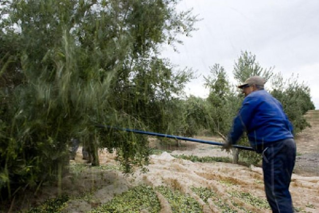 Recogida de la aceituna en Jaén