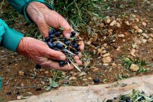 Olivarero enseña las últimas aceitunas de esta campaña olivarera que ya toca a su fin. :: J. PASTOR