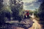 Inquietud en el olivar por la mala cosecha que se avecina