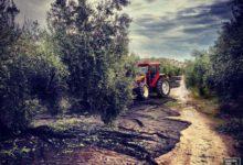 Photo of La rápida maduración del fruto lanza al olivar a los aceituneros