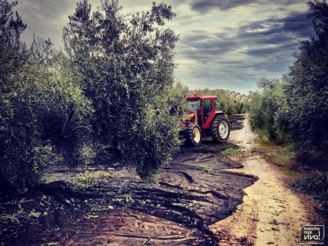 Un tractor trabaja en un olivar de Mancha Real