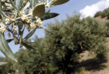 "Photo of La flor del olivo ""explota"""