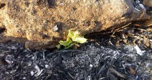 Aparecen los primeros brotes a sólo dos semanas del incendio de la Serrezuela