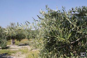 Situación actual del olivo