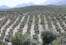 Photo of El polen del olivo pone en alerta a los alérgicos de Mancha Real