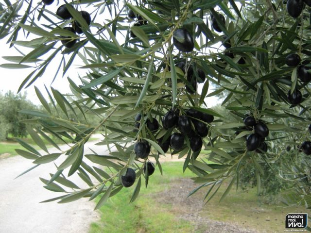 Datos positivos del aceite de oliva