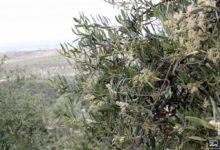 Photo of El polen del olivo sube al nivel extremo y pone en alerta a los alérgicos en Mancha Real
