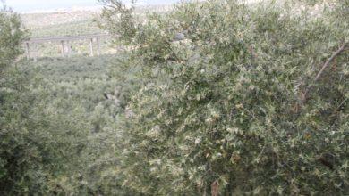 Photo of Este año es previsible el adelanto de la floración del olivo