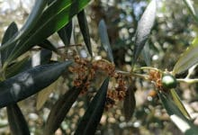 Photo of Una plaga de prays «nunca vista antes» podría haber afectado al olivar de Jaén para la próxima cosecha